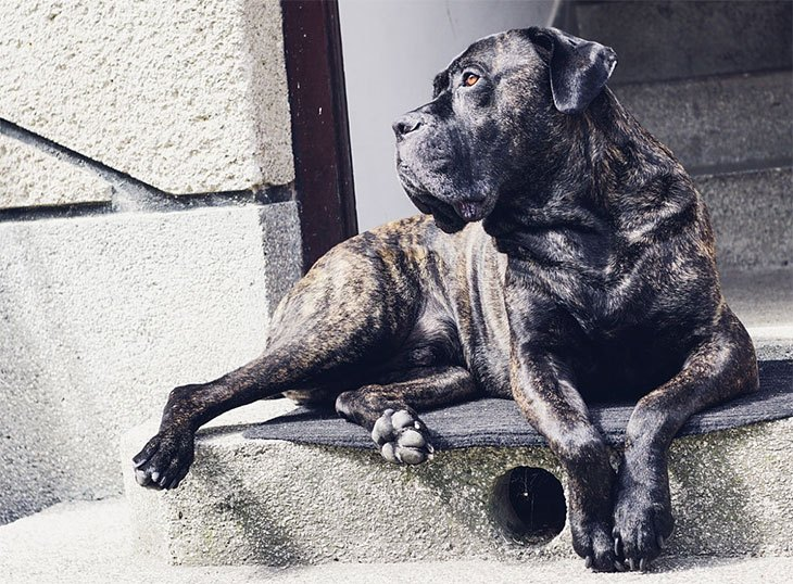 best large breed puppy food for cane corso